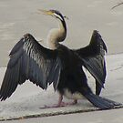 Hanging out to dry. Darter - Anhinga melanogaster by Lydia Heap