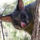 Good Morning, Possums. Common Brushtail Possum - Trichosurus vulpecula by Lydia Heap