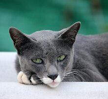 Lazy cat by PerkyBeans