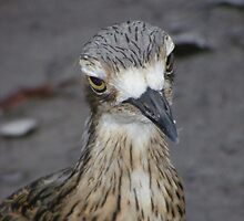 What are you looking at? Bush Thick-knee - Burhinus magnirostris by Lydia Heap