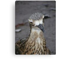 What are you looking at? Bush Thick-knee - Burhinus magnirostris Canvas Print
