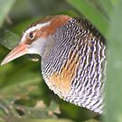 Have they gone yet? Buff-banded Rail - Gallirallus philippensis by Lydia Heap