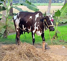 A COW IN HINDU DRESS-SOUTHERN INDIA by HEARTSFORINDIA