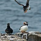 Puffin by Moonlake
