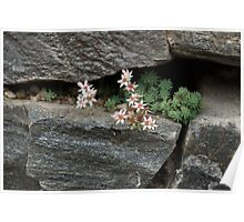 Life on Bare Rock - Pale Pink Succulents on the Wall Poster