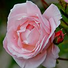 Pink Garden Rose by Moonlake