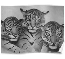 Three tigers in pencil Poster