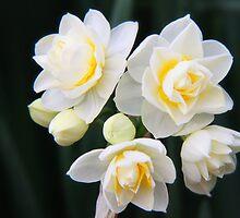 Daffodil by Emma Holmes