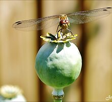 Dragon Fly on poppy bud by Janone