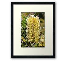 Australian Bottle Brush - Bundaberg - Australia Framed Print