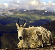 Shaggy Mountain Goat by sally-w