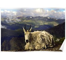 Shaggy Mountain Goat Poster