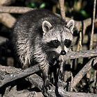 Raccoon in Mangrove Roots by sally-w
