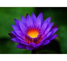 Neel-kamal [Purple-colored Lotus] Photographic Print
