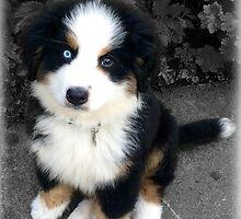 Cute Bernese Mountain Dog Puppy by resonanceone