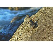 Purple Sandpiper Photographic Print