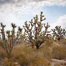 Joshua Trees by photecstasy