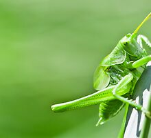 Green grasshopper by Proobjektyva