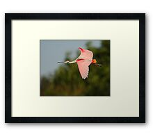 Roseate Spoonbill in Flight Framed Print