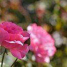 Roses I by Mark Cooper
