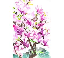 Large Magnolia Tree Blossoming Photographic Print
