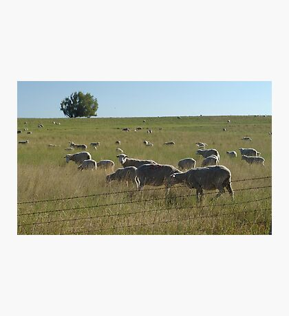 AND WHO ARE YOU?  SHEEP NEAR BIG TIMBER, MT Photographic Print