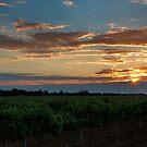 Vineyard by Mark Cooper