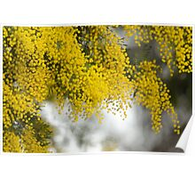 Yellow wattle in bloom Poster