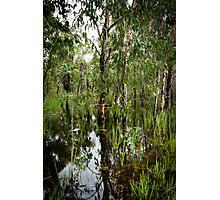 Paperbark Swamp Photographic Print