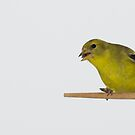 Finch! by vasu