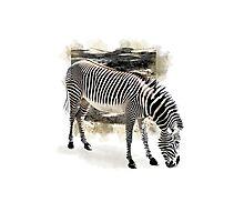 Zebra Extended Photographic Print