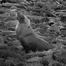 Australian Sealion on the rocks - Fitzgerald Bay, South Australia by Dan & Emma Monceaux