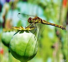 Dragon Fly seen from its side by Janone