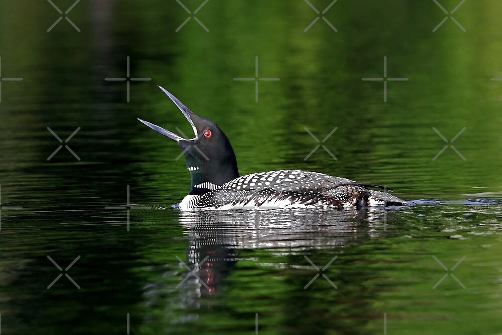 Call of the loon - Common Loon by Jim Cumming