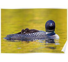 Ready for bed - Common loons Poster