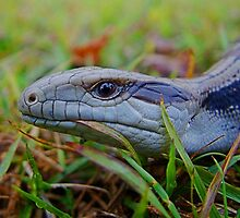Baby Blue Tongue Having A Feed Number 2 by julieapearce