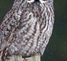 Great Grey Owl on Post Sticker