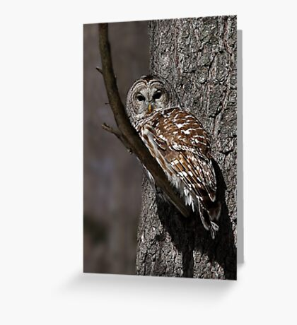 Barred Owl - Low, Quebec Greeting Card