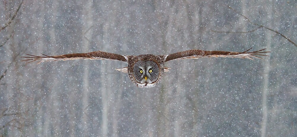 Coming in at full speed - Great Grey Owl by Jim Cumming