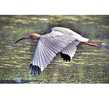White Ibis flying Photographic Print