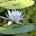Water Lily by SierraMLatkje