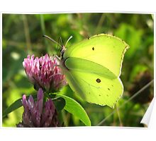 Brimstone on Red clover Poster