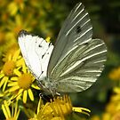 The Large White Butterfly by ienemien