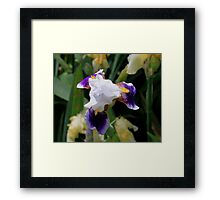 White -N- Purple Iris Framed Print