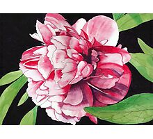 Single Red Peony Rose Photographic Print