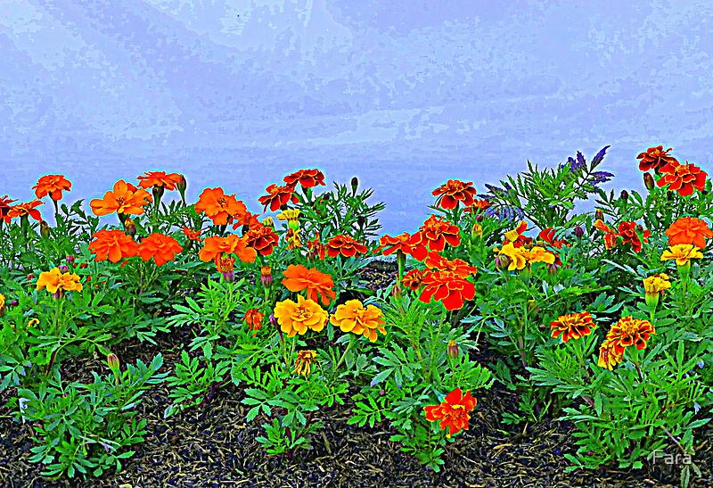 Marigolds by Fara