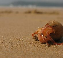 Hermit Crab at Goa by opensea