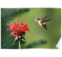 Hummingbird and Bee Balm Poster