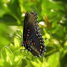 Red Spotted Purple Butterfly by Sharon Woerner