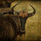 BLUE WILDEBEEST – Connochaetes taurinus by Magaret Meintjes